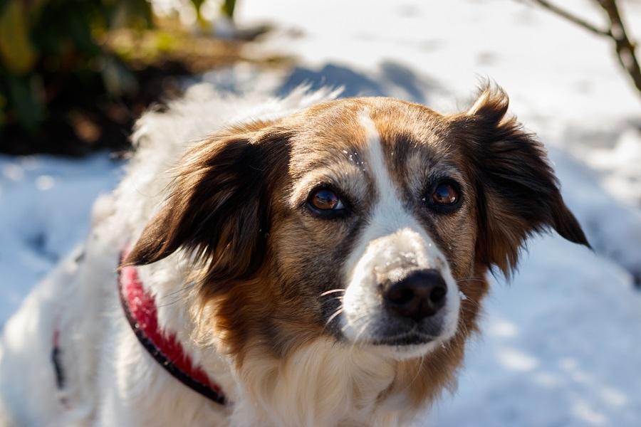 Hundefotografie im Schnee IMG 7710w