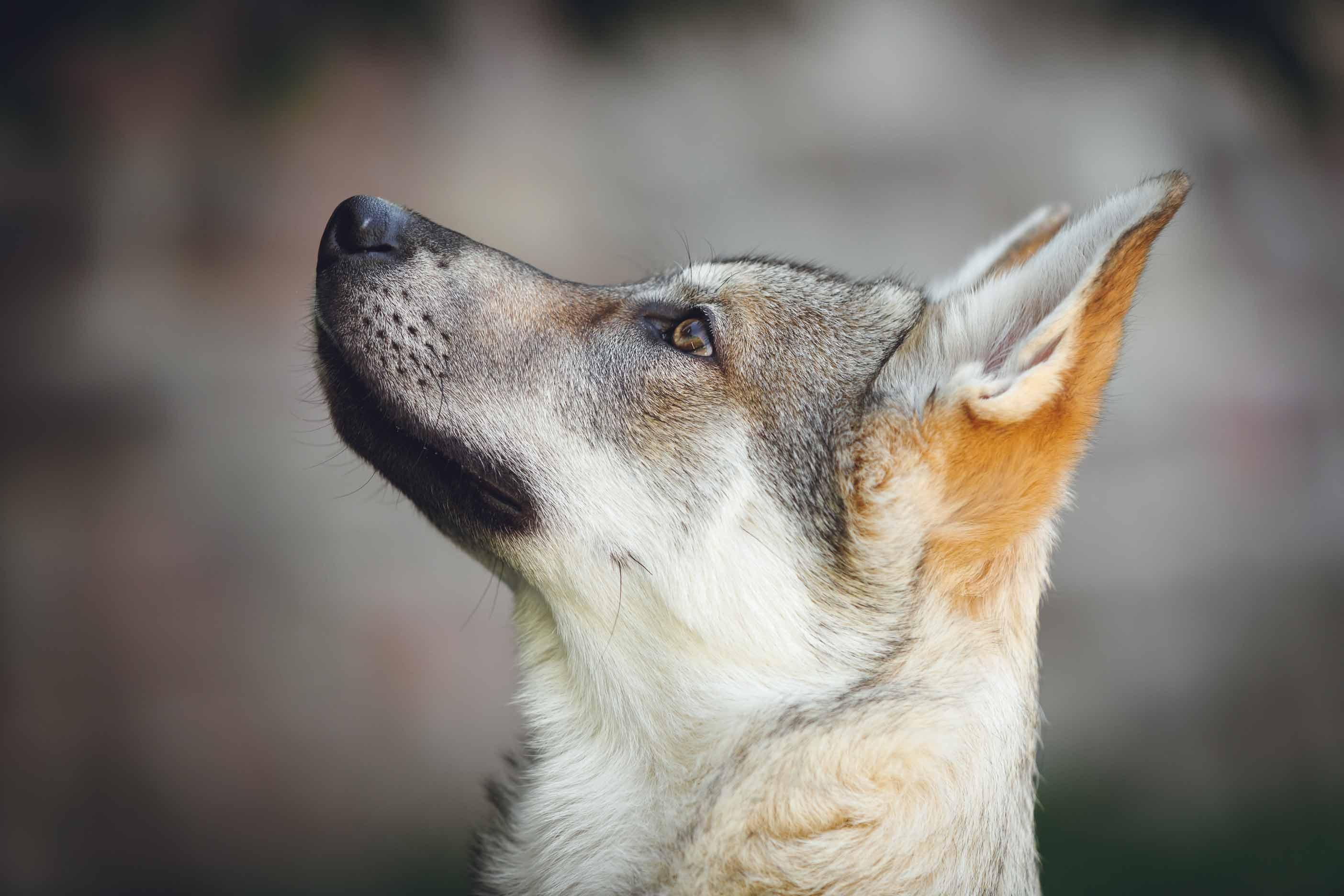 Hundefotografie mit Suko dem Tschechoslowakischen Wolfshund IMG 8176w