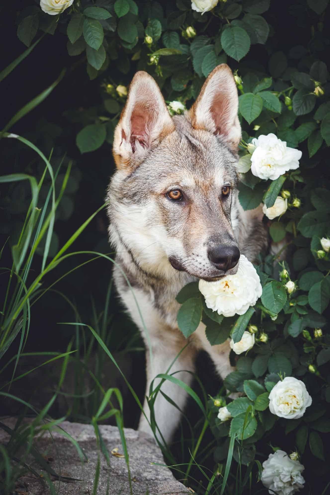Hundefotografie mit Suko dem Tschechoslowakischen Wolfshund IMG 8227w