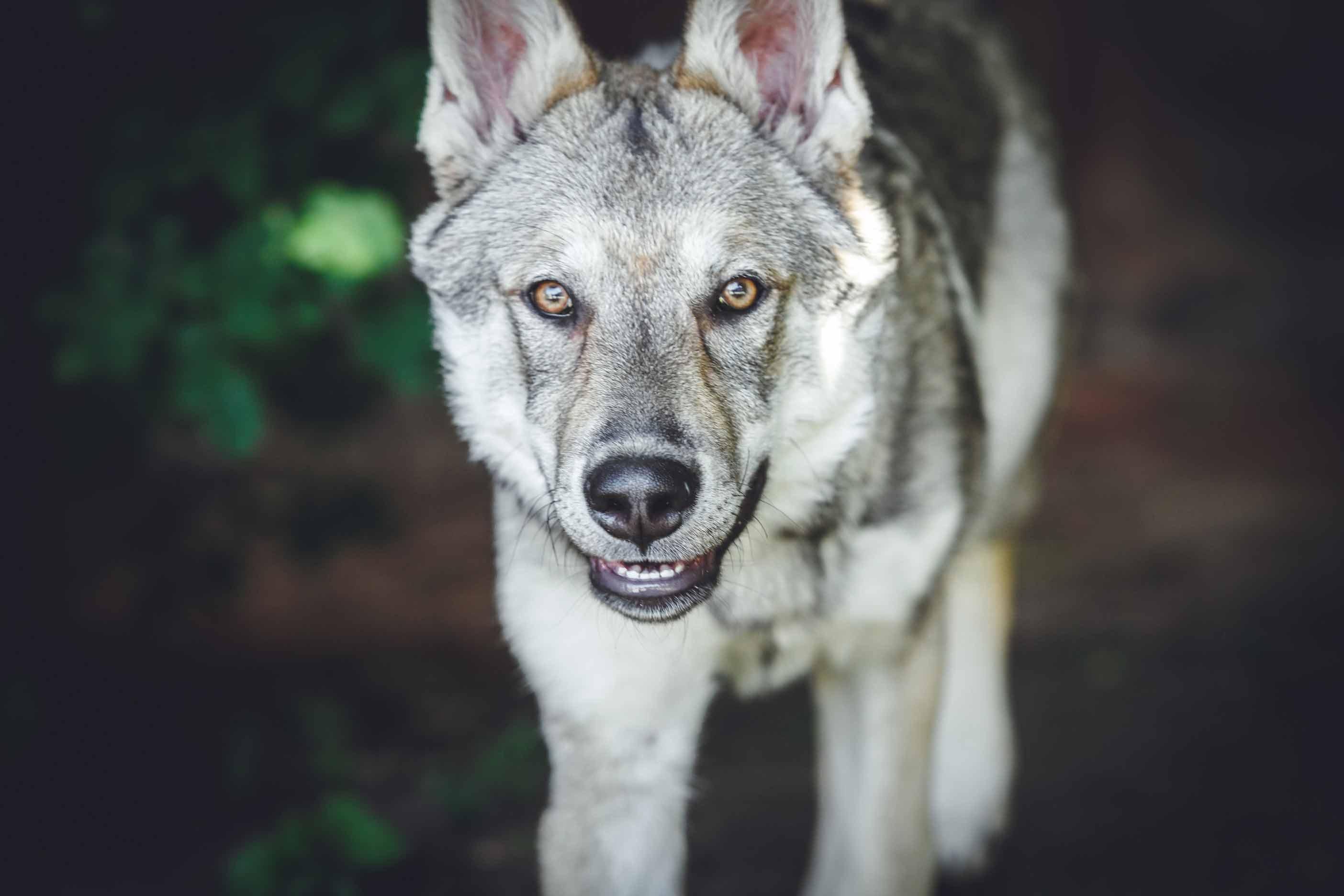Hundefotografie mit Suko dem Tschechoslowakischen Wolfshund IMG 8303w