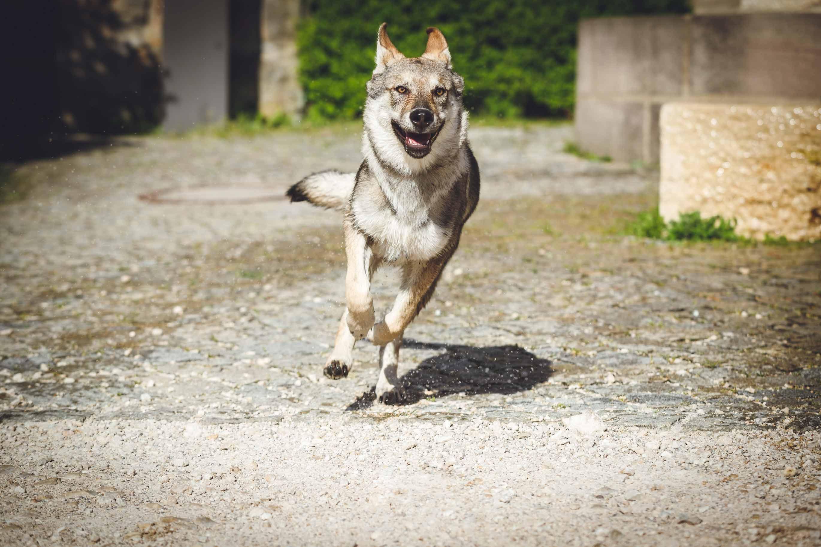 Hundefotografie mit Suko dem Tschechoslowakischen Wolfshund IMG 8412w