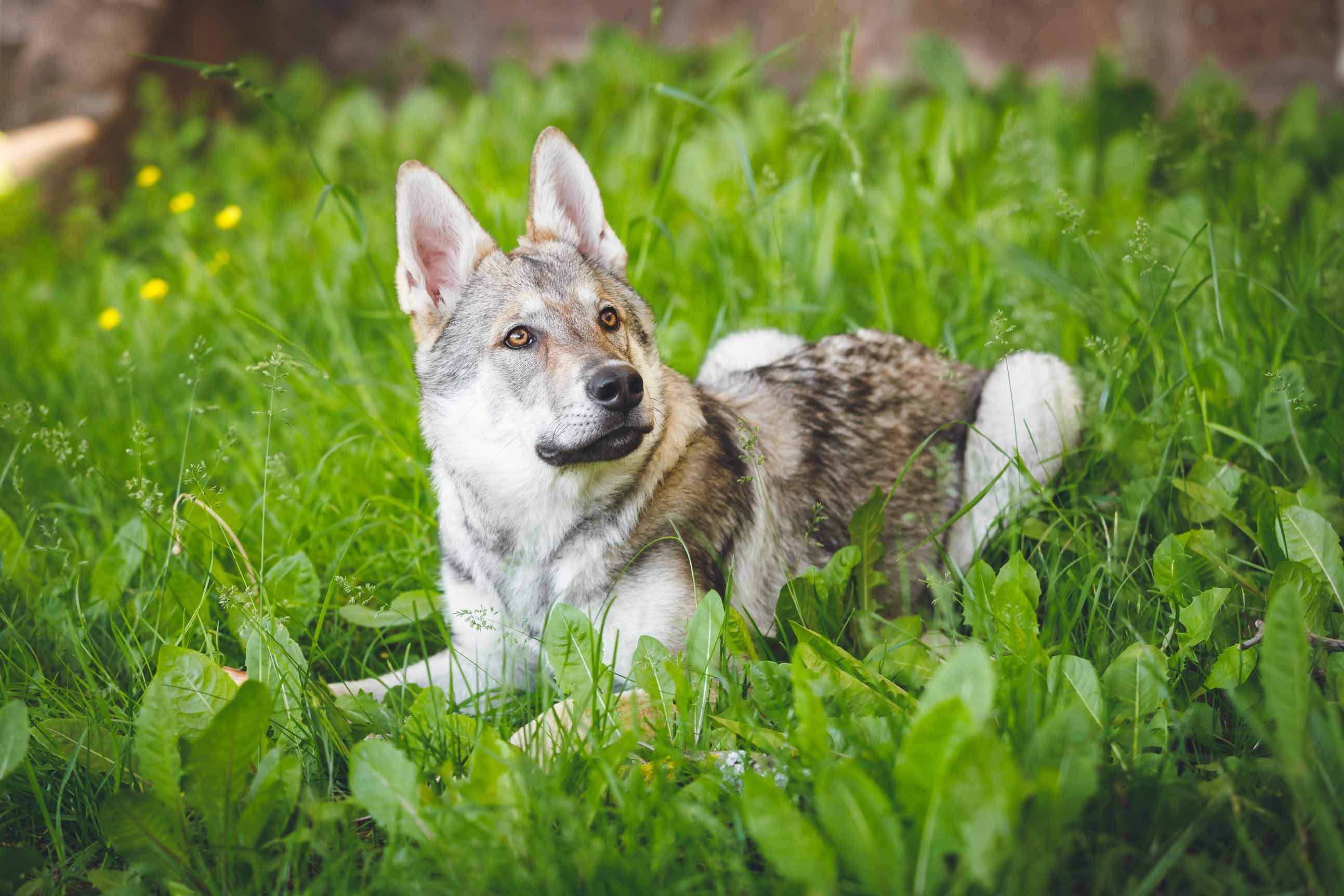 Hundefotografie mit Suko dem Tschechoslowakischen Wolfshund IMG 8509w