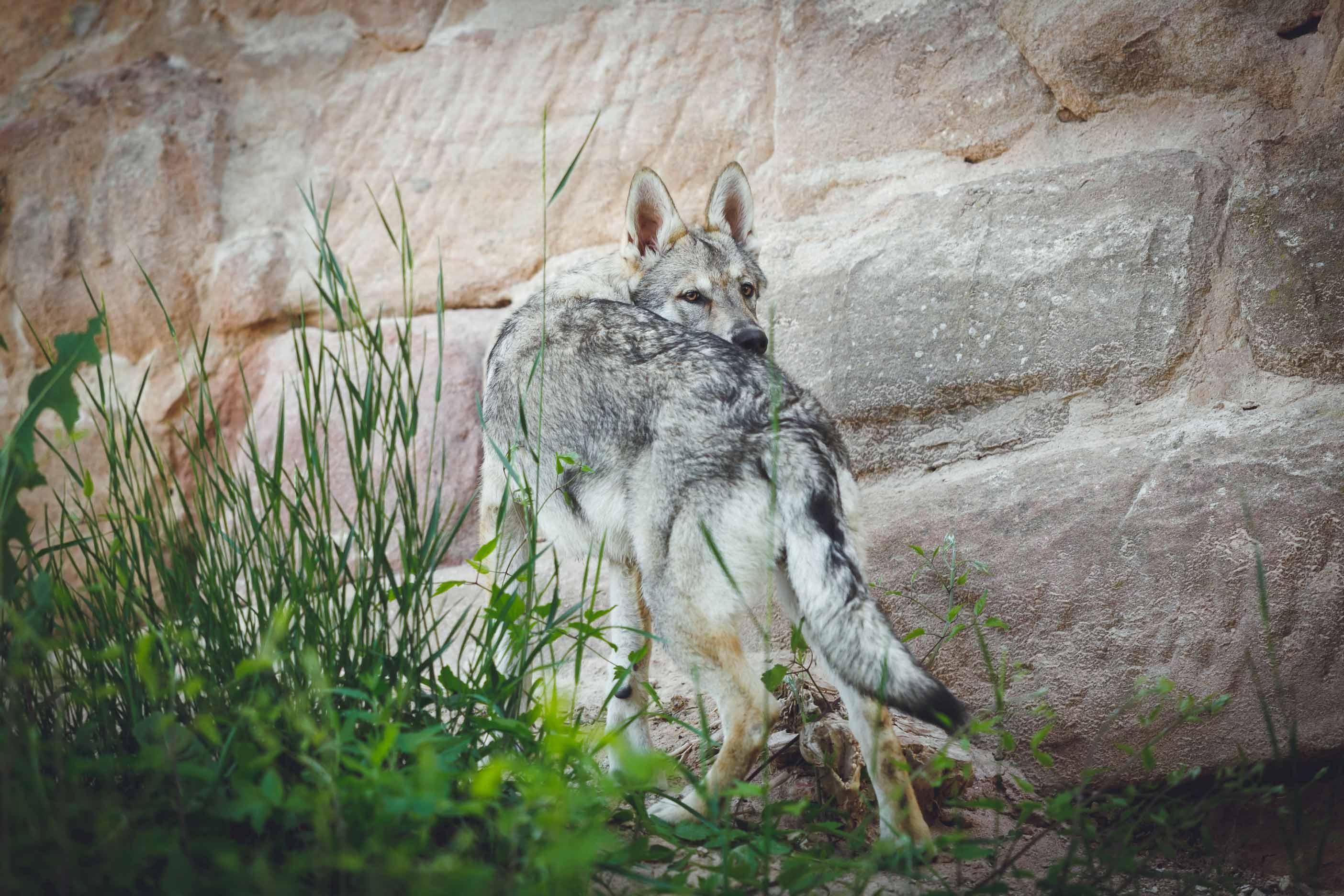 Hundefotografie mit Suko dem Tschechoslowakischen Wolfshund IMG 8523w