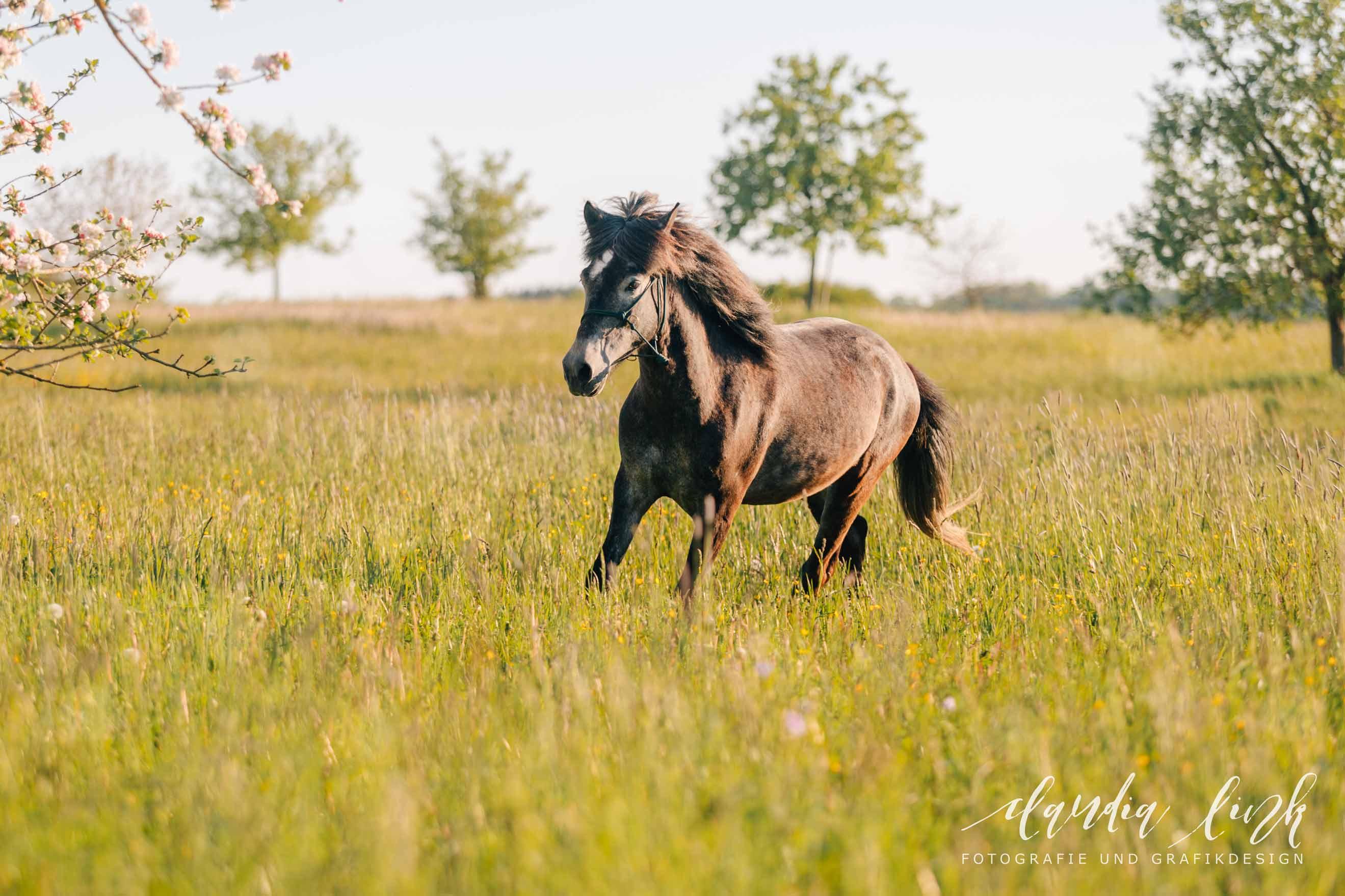 Sommerliches Pferdeshooting bei Sonnenuntergang IMG 8446w